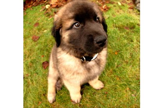 Leonberger Rescue Dogs for Adoption